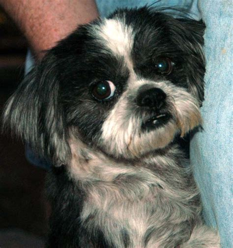 adoption shih tzu shih tzu rescue