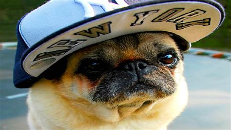 pug in the world ffunny in the world funniest pugs pug