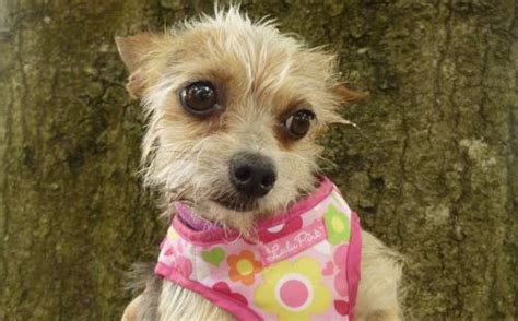 wire haired yorkie tatum the wire haired chi s web page