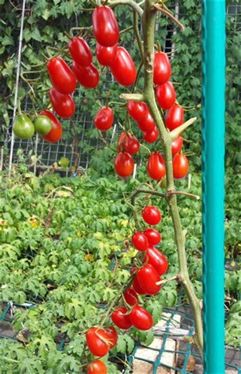B3 Taro baby roma tomato grow your own delicious snack tomato