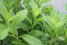 Kapsul Sambung Nyawa manfaat daun sambung nyowo herbal mulia