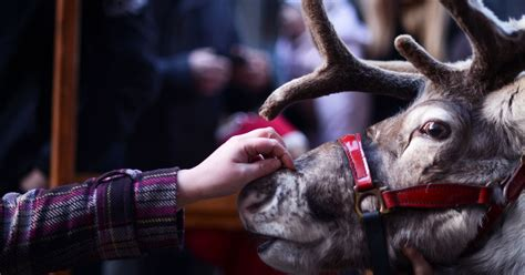 where to see real reindeer this christmas near birmingham
