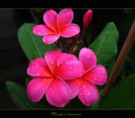 plumeria colors hawaiian flowers the plumeria royal hawaiian a photo