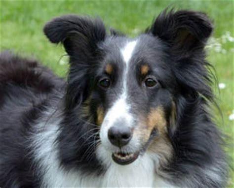 seattle puppy adoption seattle purebred rescue in redmond washington adopt a pet breeds picture