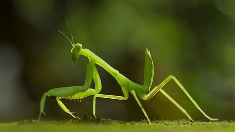 praying mantis christmas tree more than 100 praying mantises brought in by tree invade s home