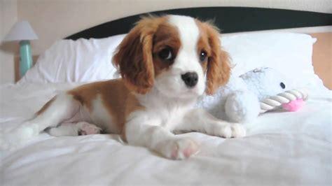 king charles cavalier spaniel puppy cavalier king charles spaniel baby