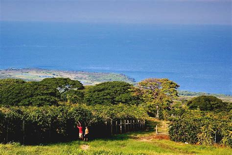 kona coffee plantations big island  hawaii reviews