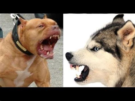 gladiator vs husky pitbull vs siberian husky funnydog tv