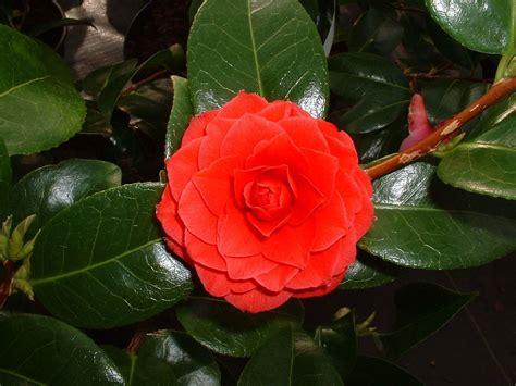 Black Camellia camellia japonica black lace evergreen