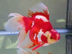 All About Aquarium Fish: Goldfish Varieties   Ryukin and Tosakin