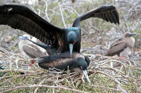 frigate birds mating photo howard banwell photos at