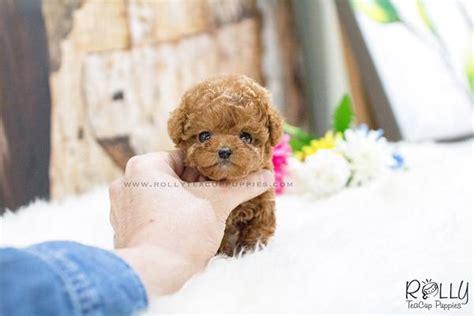 rolly teacup puppies prices reserved to ng princess poodle f rolly teacup puppies