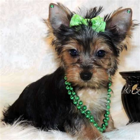 toys for yorkies image gallery yorkie