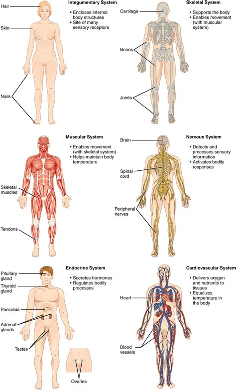 Structural organization of the human body 183 anatomy and physiology