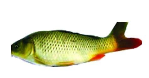 Pakan Ikan Lele Uh komunitas penyuluh perikanan kebutuhan zat gizi pakan