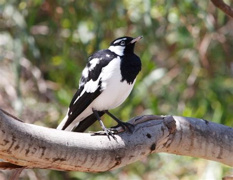 magpie birds in backyards magpie lark birdlife australia these birds constantly