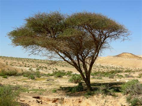 Knob Acacia by File Acacia Negev Jpg Wikimedia Commons