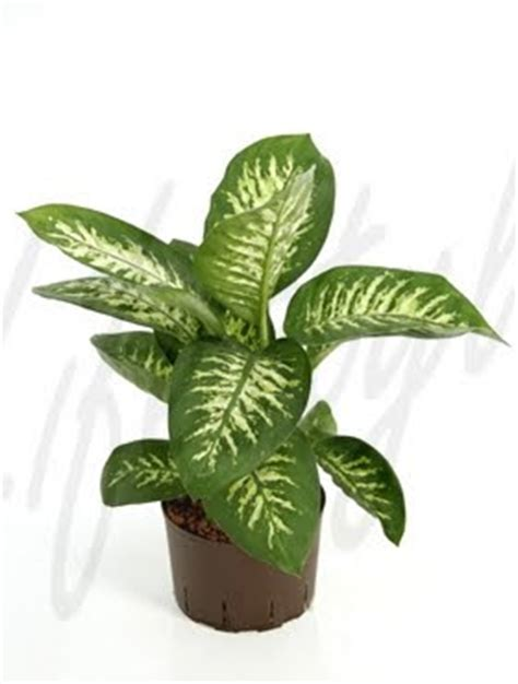 imágenes de flores venenosas curiosidades animales y plantas bichbo plantas venenosas ii