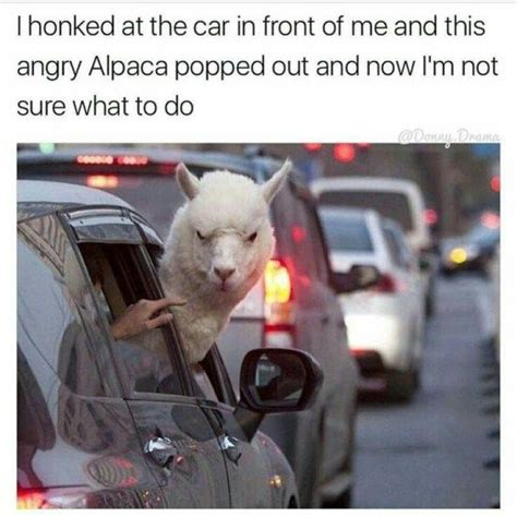 Alpaca Meme Generator - 25 best ideas about alpaca funny on pinterest funny
