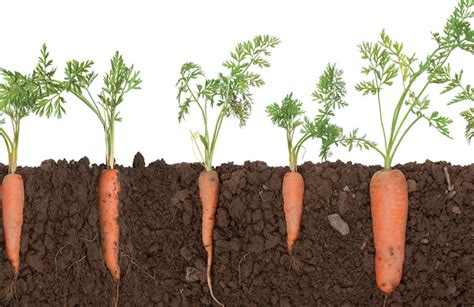 are carrots a root vegetable getting to the root of carrot production growing