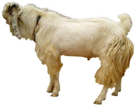 Bibit Kambing Pe himpunan peternak kambing boer indonesia cabang jawa timur