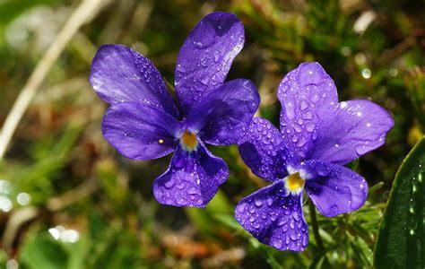 nomi di fiori fiori viola nomi stratfordseattle