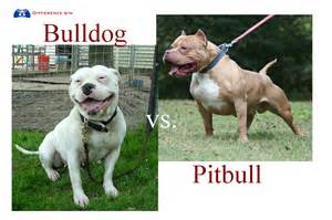 Difference between american bulldog and pitbull difference between