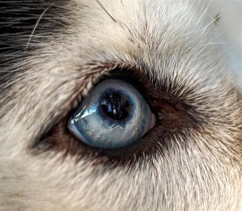 eye diseases in dogs all things husky eye color variations and common eye diseases in the siberian husky