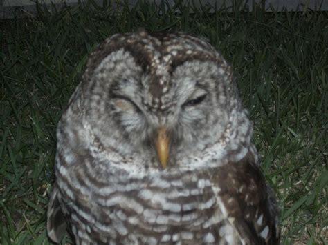 Find In Arkansas Owl Found In Arkansas Owls