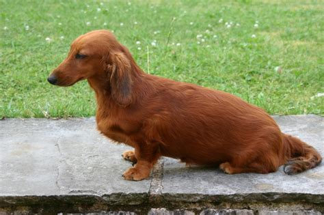 hair daschund puppies standard haired dachshund puppies ashbourne derbyshire pets4homes