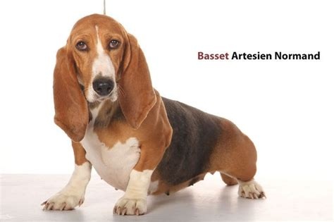 miniature basset hound puppies for sale in elite basset hounds basset hounds miniature basset hounds basset hound puppies for