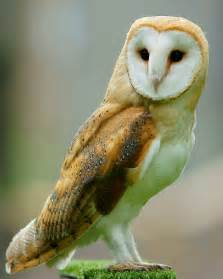 what is the barn owls scientific name barn owl