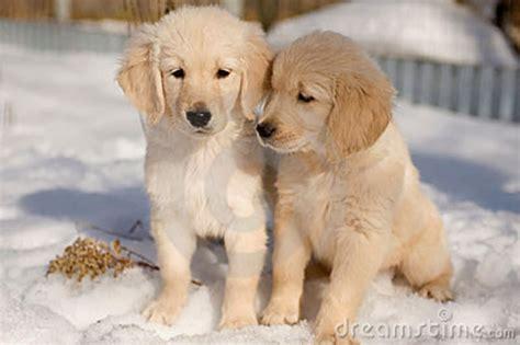 golden retriever puppies snow golden retriever puppies in the snow sawyer the golden retriever breeds picture
