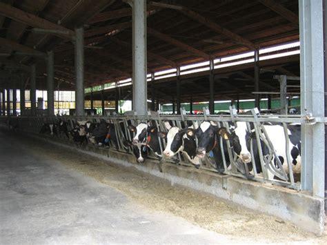 razione alimentare bovini da latte gli allevamenti da latte non inquinano ma si pu 242 fare di