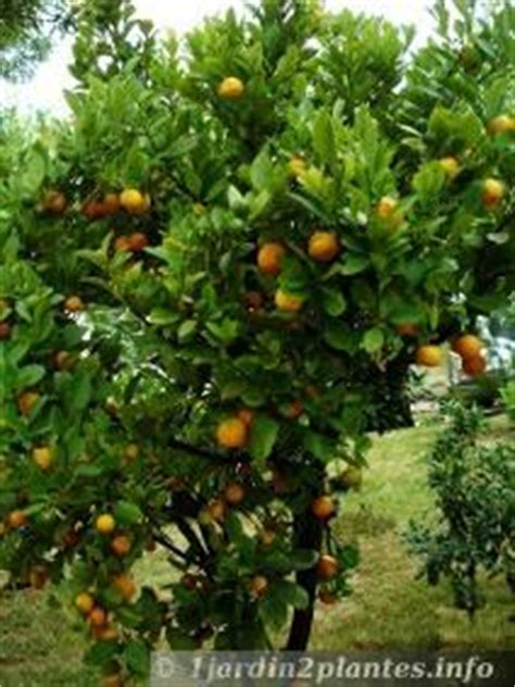 Arbre De La Clementine by La Cl 233 M 233 Ntine Est Le Fruit Du Cl 233 Mentinier Famille Des