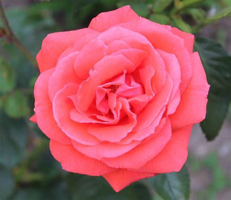 roses images file jpg