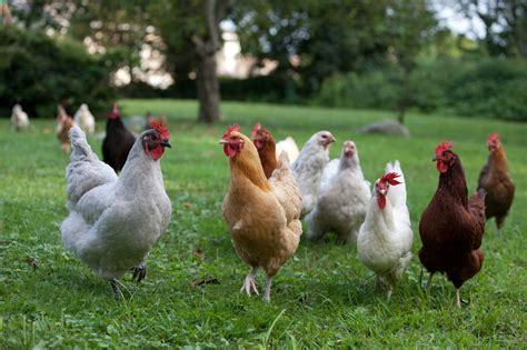 there are so many different terms for chickens juvenile