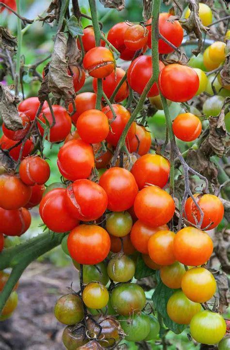 control common tomato pepper eggplant  potato