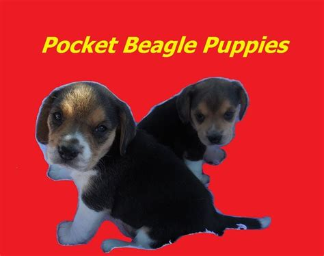 elizabeth pocket beagle puppies for sale 17 best ideas about beagles for sale on beagle dogs for sale beagle