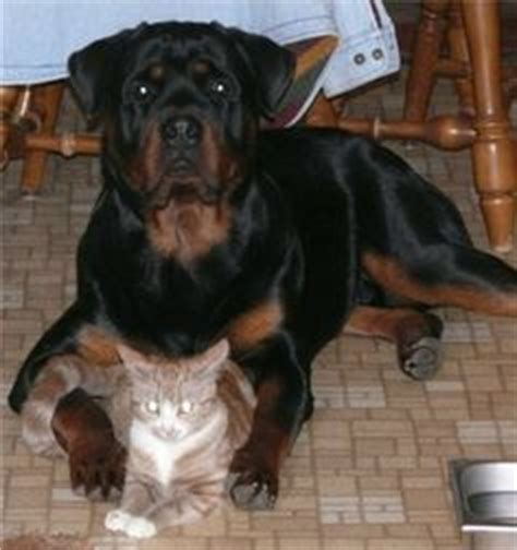 are rottweilers with cats 1000 images about rotties on rottweilers rottweiler and