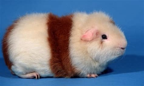 Ultimate List of All Guinea Pig Breeds Coops And Cages?