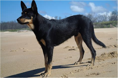 kelpie breed australian kelpie info puppies mix temperament pictures