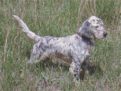 morgan setter dog pin by morgan fogelstrom on outdoor girl pinterest