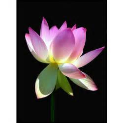 White Lotus Meaning Lotus Flower Meaning Pictures Blue White Lotus