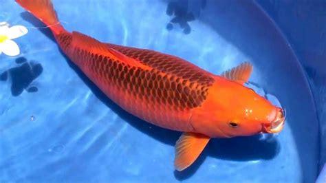Harga Benih Ikan Koi 2017 supplier ikan koi di kota blitar