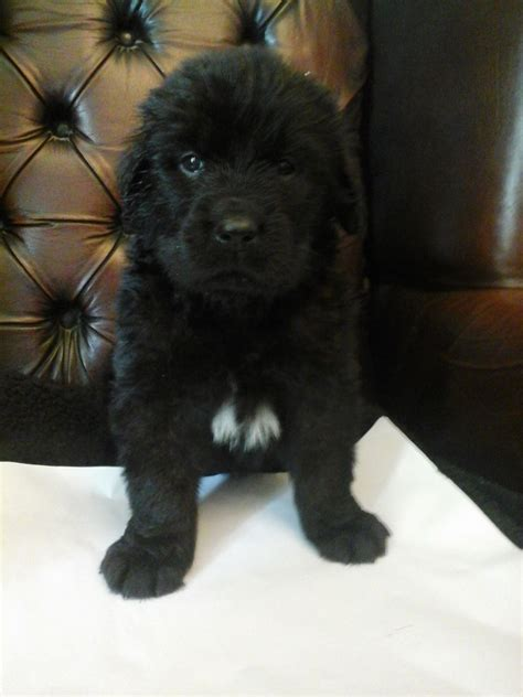 newfoundland puppies for free newfoundland puppies for sale in the uk newfoundland puppies for sale breeds picture