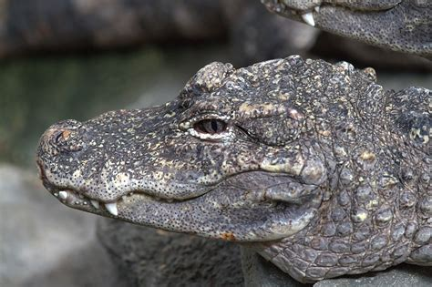 Alligator - Wikiwand