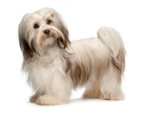 do havanese shed a lot small non shedding dogs 2