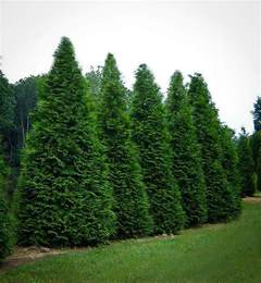 Good Shade Trees For Backyard Thuja Green Giant Trees For Sale The Tree Center