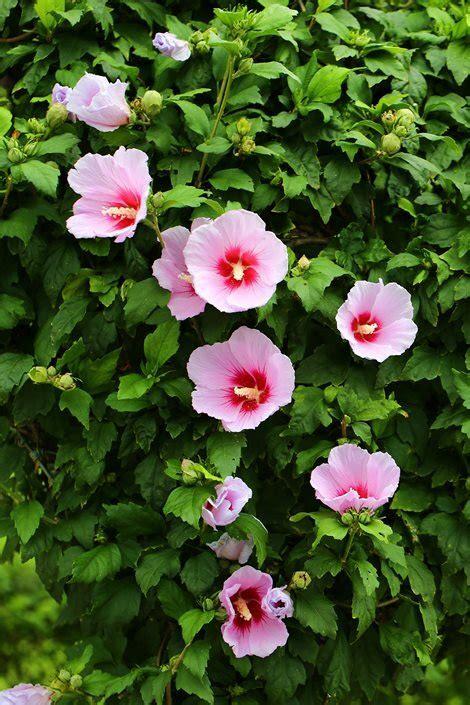 hibiscus assorted mm
